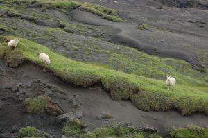 Ovce pasoucí se trávou prorůstající sopečným popelem, vzdušnou čarou cca 11 km od sopky Eyjafjallajökull (červenec 2010).